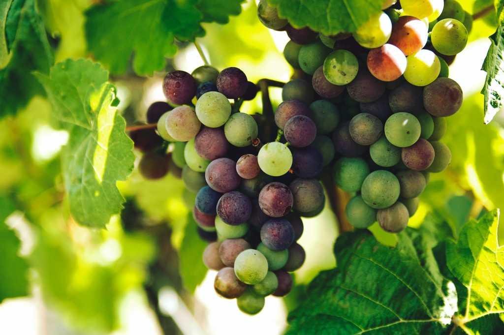Growing Wine