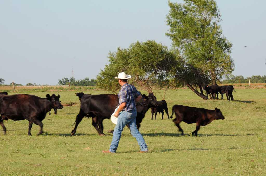 us-beef-cows